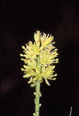 Tofieldia calyculata 2