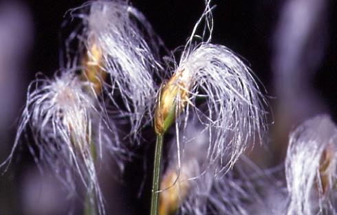 Trichophorum alpinum 1
