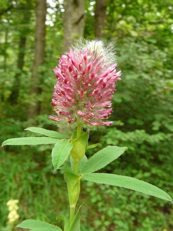 Trifolium alpestre 1