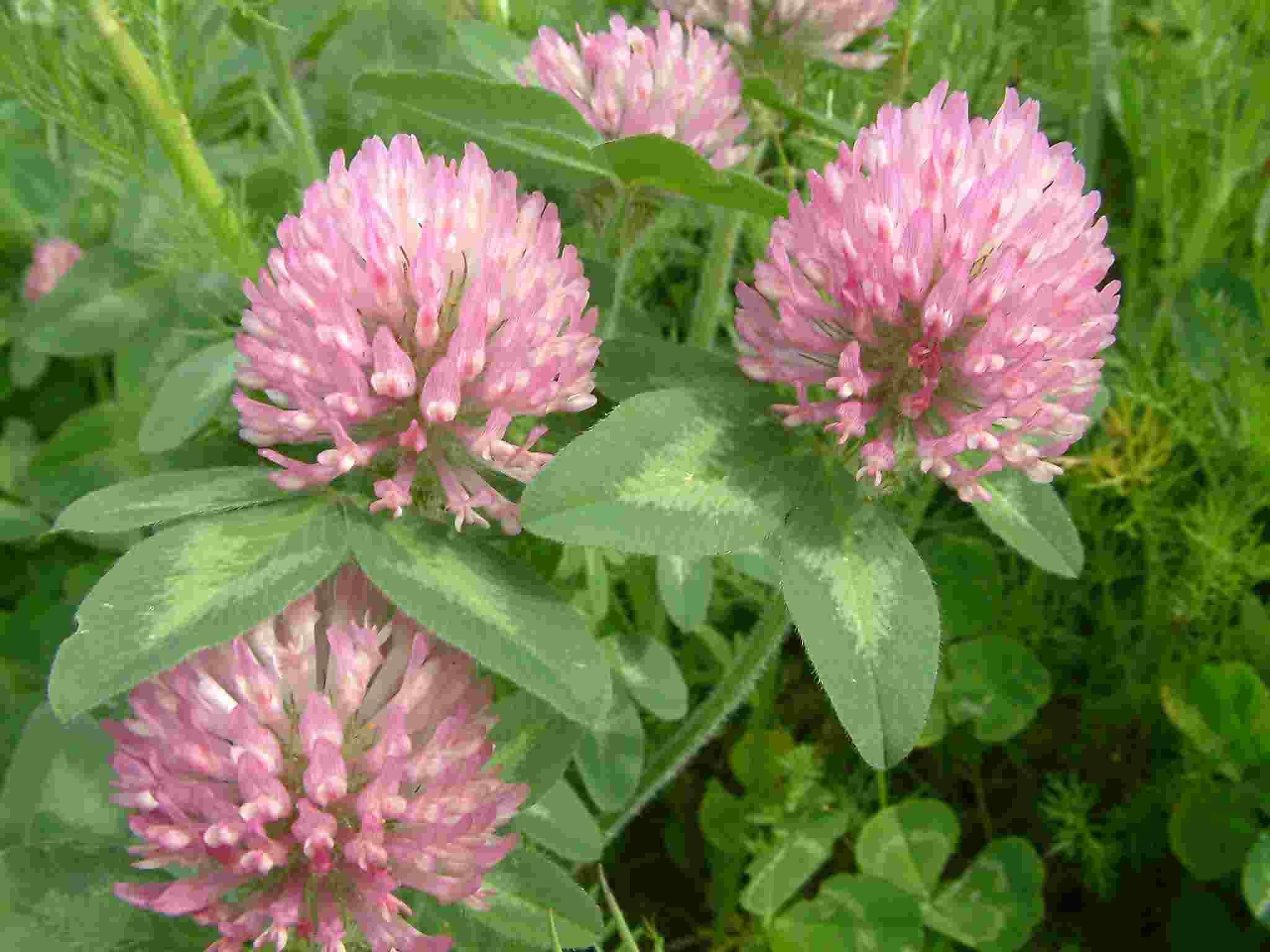 Trifolium pratense 1