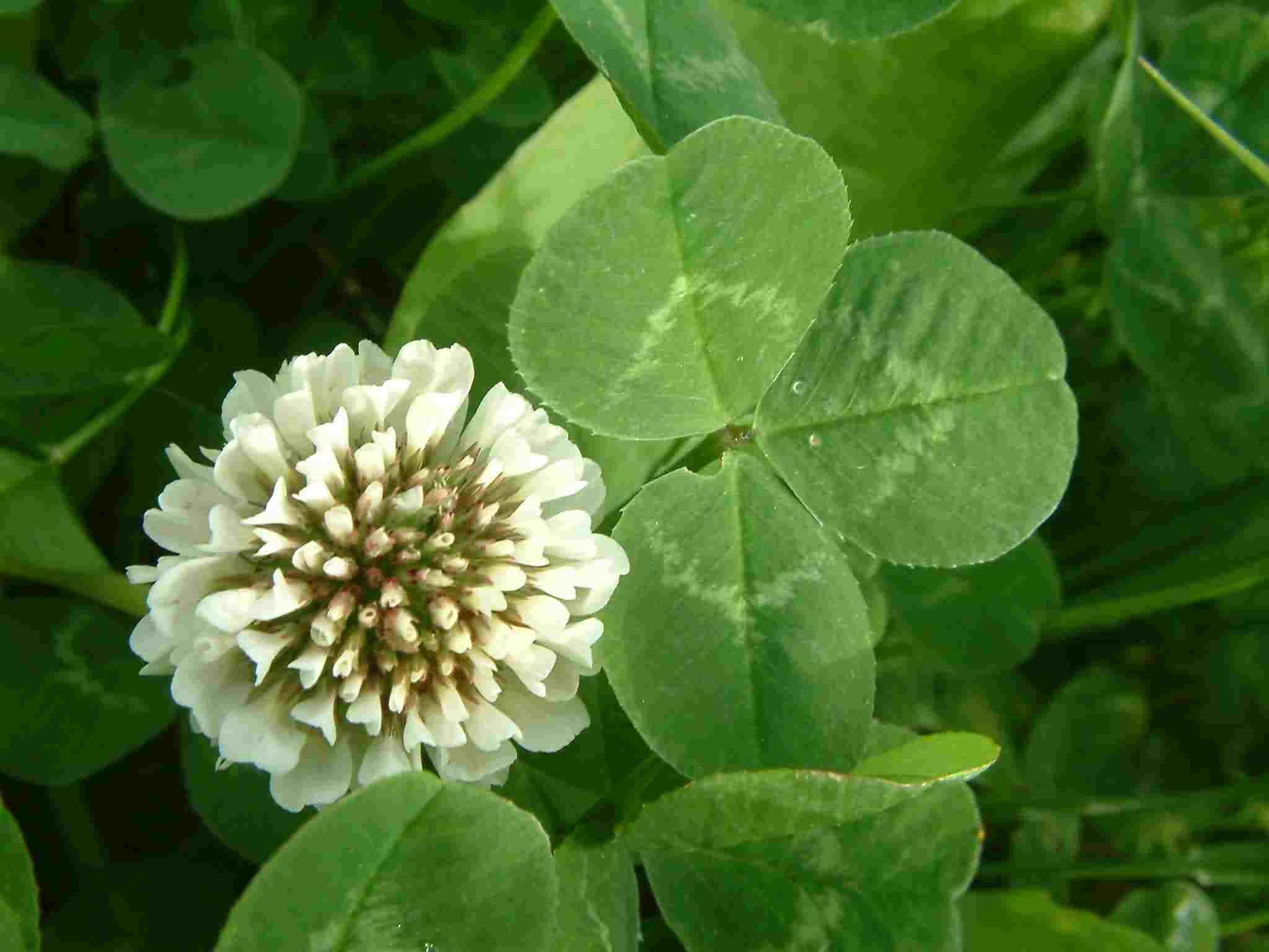 Trifolium repens 1