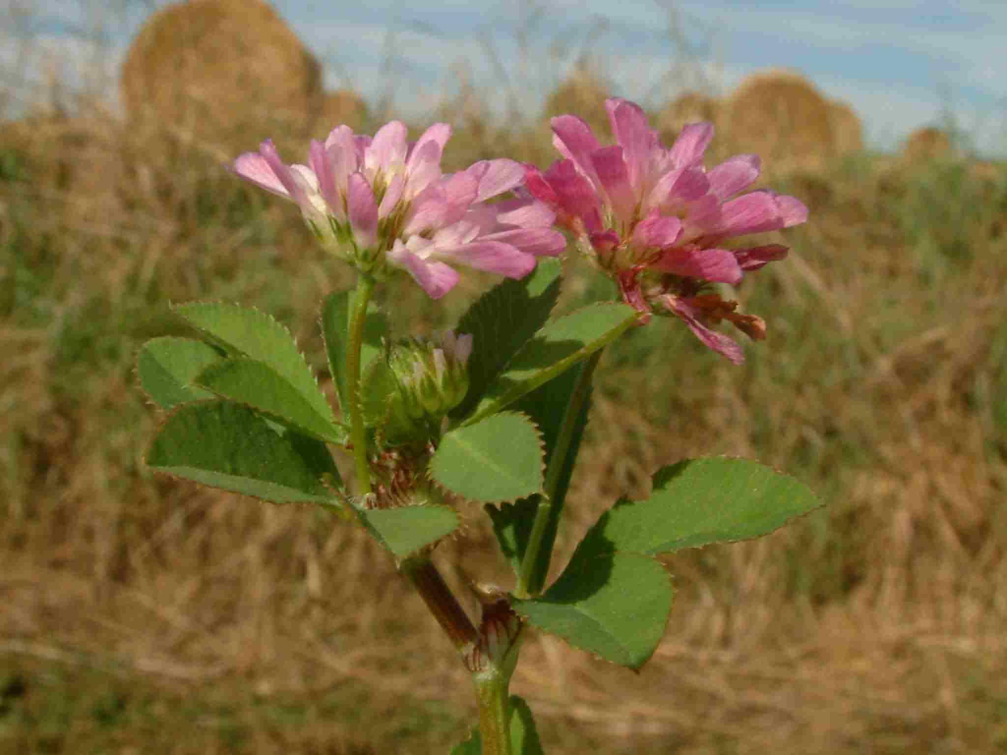 Trifolium resupinatum 1