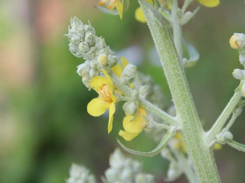 Verbascum lychnitis 2