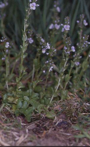Veronica serpyllifolia 1
